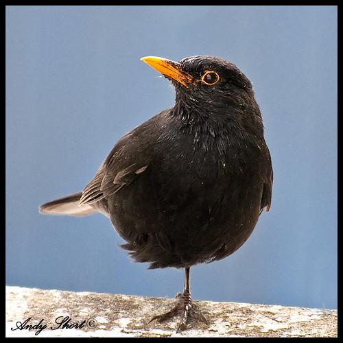 Hop-Along Blackbird.