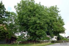 Nussbaum in Zielebach (HITSCHKO) Tags: nussbaum echtewalnuss juglansregia baum einzelbaum solitrbaum laubbaum