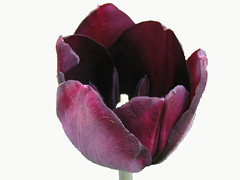 Dark Purple Tulip On White (Chrisser) Tags: flowers ontario canada nature photoshop garden spring tulips gardening fourseasons bulbs closeups liliaceae flowerfactory floweronwhite olympuscamediac765