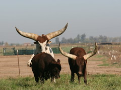 some days you're a top (bunn) Tags: cattle bull commute watusi ankole justcropped nopostprocess bentleyroad clairibelroad reallybigasshorns bunaentumblr
