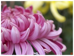 Chrysanthemum 071029 #04