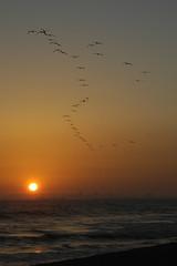 Brown Pelicans, Seal Beach, CA (flyingibis) Tags: