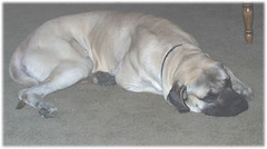 Excalibur Guarding the Floor again (muslovedogs) Tags: dogs mastiff excalibur