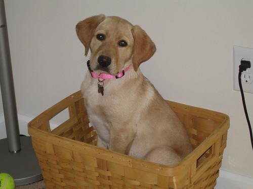 yellow labrador retriever - Haley