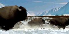 17 bison runs