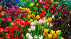 Wooden tulips (MarcelGermain) Tags: wooden tulips tulip wood colours colors colorful colourful amsterdam holland netherlands market flower flowers bloemenmarkt multicolor rainbow holanda marcelgermain nikon d80 vivid tulipes fusta mercat colourartaward artlegacy dutch 169 25faves theperfectphotographer myfavourites flor fleus flors geotagged
