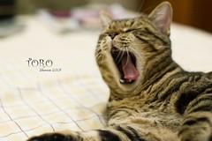 Say AHH~ (Sherwin_andante) Tags: home cat 50mm takumar toro 貓 2007 10faves explored 200712 lmaoanimalphotoaward 龍二 k100ds