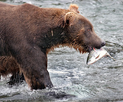 Alaskan Grizzly Bear (Rob Kroenert) Tags: bear park brown nature alaska wildlife salmon lodge national grizzly brooks grizzlybear katmai katmainationalpark