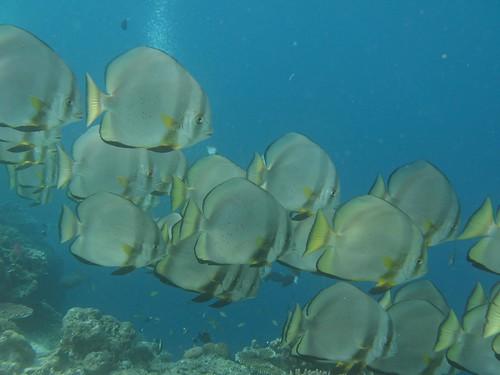 Sipadan batfish