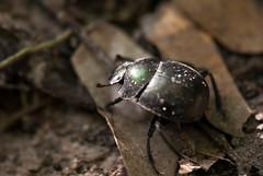 Just a beetle in Kissama National Park, Angola (AIB - Angola Image Bank por KODILU Fotografia) Tags: africa topf25 topv111 topf50 topv555 topv333 topv1111 pitta angola luanda kissama angolaemfotos angolaimagebank kodiluphotography angolainphotos wwwangolaimagebankcom