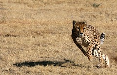 RUN (peo pea) Tags: africa cats cat run felino felini cheetah runner namibia gatto caccia ghepardi naturalmente naturesfinest 10faves ghepardo specanimal otjiwarongo aplusphoto cheetahfoundationfound peopea wwfita