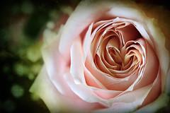 Forgive Me .. (A.A.A) Tags: pink light green love rose photography heart natural aaa loveu amna walla irresistible inha iloveu abdulaziz althani aalthani inshallla ilshea5a shea5t klhm heartrose ilshyo5 fdeaaaat allalay7rmnimnha amnaaalthani