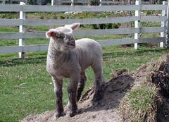 Healthy lamb