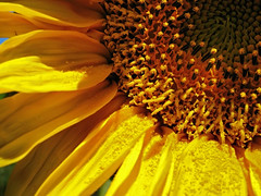 Radiant Sun (ToniVC) Tags: summer sun sunlight flower nature yellow canon petals mood natural memories powershot sunflower feeling pollen optimism radiant girasol flowerotica explore27 a640 tonivc