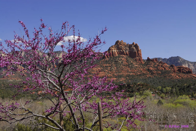 Blossom time in Sedona, Arizona