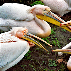 Debate (Katarina 2353) Tags: uk pink blue england white film pelicans nature birds animals yellow photography nikon flickr image debate londonzoo ptice pelikani katarinastefanovic katarina2353