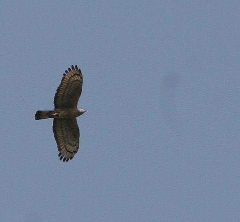 oriental honey buzzard in flight 050408