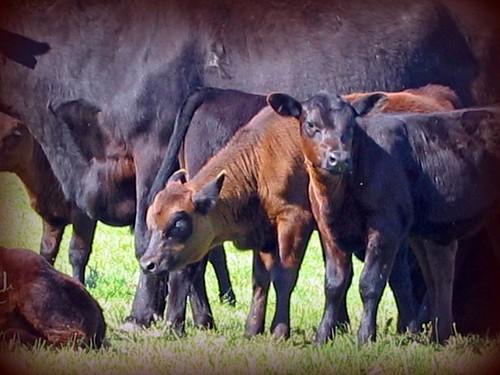 Cow Closeup