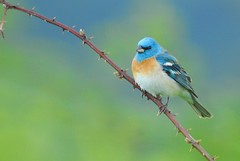 blue (brodmann's 17) Tags: blue bird nature oregon portland bravo searchthebest bunting powellbutte lazulibunting firstquality flickrsbest colorphotoaward favemegroup4 goldwildlife goldstaraward grouptripod