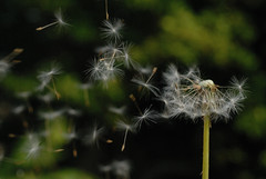 Blowing the Heads of Dandelions (Ogof. (Mike McLean)) Tags: macro sussex brighton dandelions 60mmmacro dandelionhead nikond200