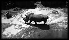 rinocerontes blancos