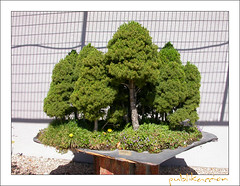 Museo del Bonsai, Jardn Japons, Alcobendas, Madrid, Espaa (publikaccion.es) Tags: madrid 2003 espaa color colour spain nikon creative commons cc bonsai coolpix museo vega arroyo alcobendas jardn 4500 japons publikaccion