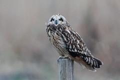 Short-eared owl (Marvandae) Tags: velduil shortearedowl asioflammeus uitkerksepolder