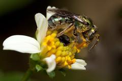 Halictidae bee (Sharon_S) Tags: macro green metallic bees insects bee trinidad sweatbee halictidae metallicgreenbee canoneos50d specinsect flickrenvy canonmpe65 macromarvels macrolife beautifulmonsters notyournormalbug insectsbugsbutterfliesoftrinidadandtobago photosofinsectsoftrinidadandtobago
