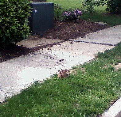 Arlington Bunny