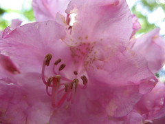 Rhododendron in full bloom Photo