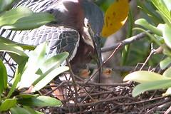 Greenback Heron-1