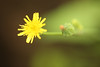 52 in 2014 - #17. A weed (crafty1tutu (Ann)) Tags: dandelion challenge flowerpower anncameron ilovemypics naturethroughthelens qualitypixels canon5dmkiii gettycontributor crafty1tutu hennysgardens hennysflowergarden canon180mm35lseriesmacrolens 52in2014 17aweed