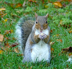Found my nut without your help! (sbuliani) Tags: park london nature lumix squirrel eating panasonic nut regents stefano naturesfinest anumal mywinners dmcfz50 buliani sapessi stefanobuliani