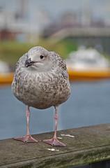 legs (leuntje) Tags: seagull gull explore meeuw ijmuiden hoogovens corus splendiferous supershot