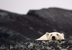 Sleeping polar bear (Rolf Hicker Photography) Tags: world bear travel winter wild canada cute nature animal animals photography tiere photos wildlife bears manitoba polarbear churchill mammals polarbears marinemammal globalwarming hudsonbay naturephotography ursusmaritimus cuteanimals marinemammals travelphotography preditor rolfhicker canadapictures canadaphotography churchillwildlifemanagementarea honeymooncanada polarbearpictures picturesofcanada hickerphotocom