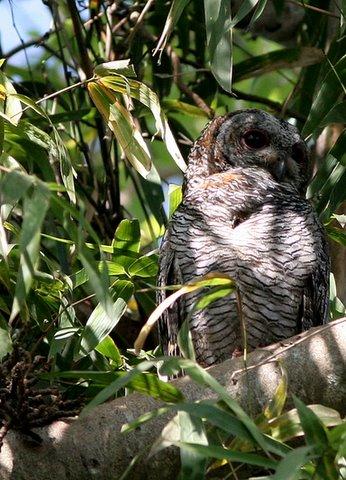 Mottled Wood Owl 20D 011207 lalbagh