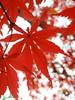 Red maple with bokeh (tanakawho) Tags: autumn red color macro nature leaf dof bokeh japanesemaple tanakawho