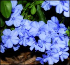 DSC_3372c copy.jpg (Patti Sullivan Schmidt) Tags: flowers blue plumbago allrightsreserved orton copyrightpatriciaschmidt