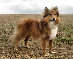 Beautiful Laddie (duckberry) Tags: dog laddie sheltie sheepdog soe shetland piratetreasure piratetreasure2
