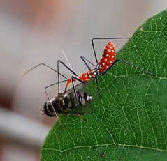 Assassin Bug With MRE