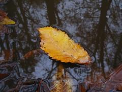 Storia di una foglia / A leaf's story (Rilunesil) Tags: water pool yellow leaf reflex giallo foglia acqua riflesso pozzanghera thebestyellow