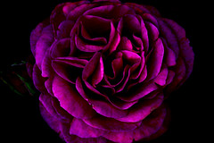 Turning Cool (Cathleen Tarawhiti) Tags: pink blue cold macro rose cool mood purple outofthisworld cathleen avision macrophotosnolimits flowerwatcher tarawhiti