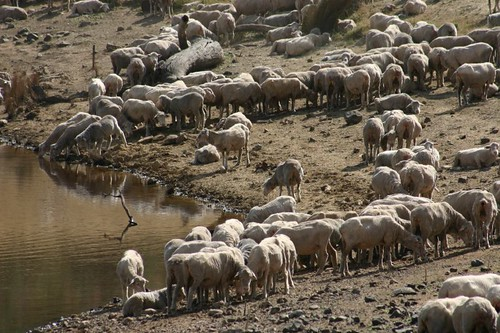Sheep + water. Central Tasmania.
