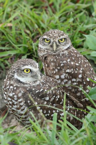 burrowing owls 1-26-08 024