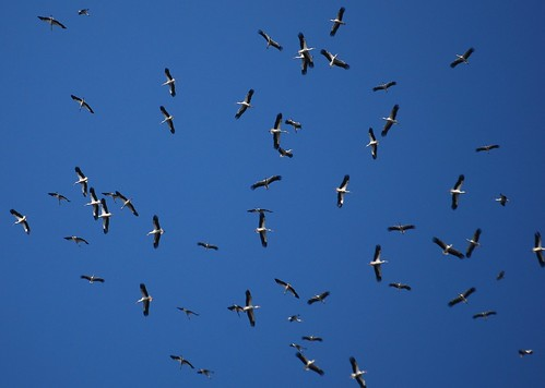 Migration of the White Storks