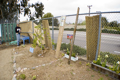 Bamboo fence going up