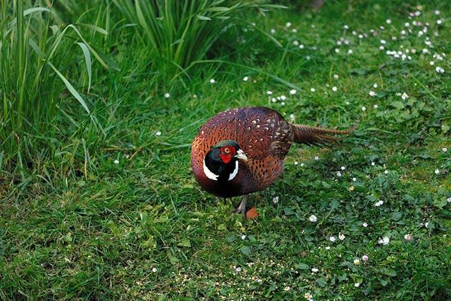 DSC_9264-Pheasant