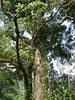 96.11.16竹崎鄉光華村茄苳風景區內的茄苳老樹DSCN3219