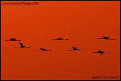 flamngo (NaWaFoOo) Tags: bird birds kuwait  kw q8 nawaf  kwt     supershot     colorphotoaward alsaleh      nawafalsaleh