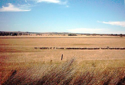 australian sheep farming